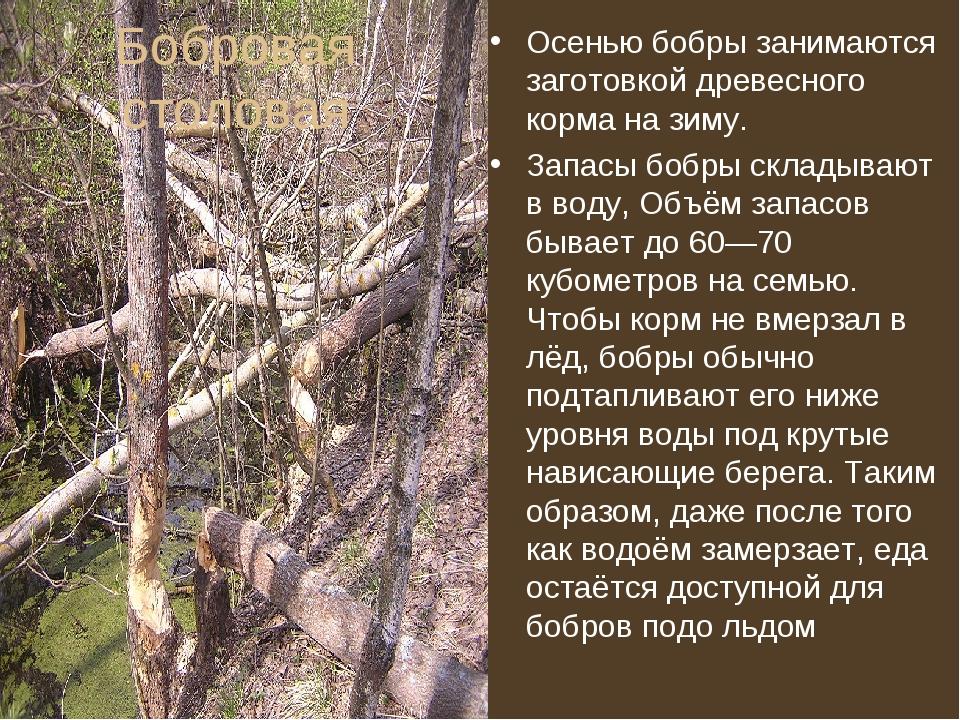 Бобровая столовая Осенью бобры занимаются заготовкой древесного корма на зиму...