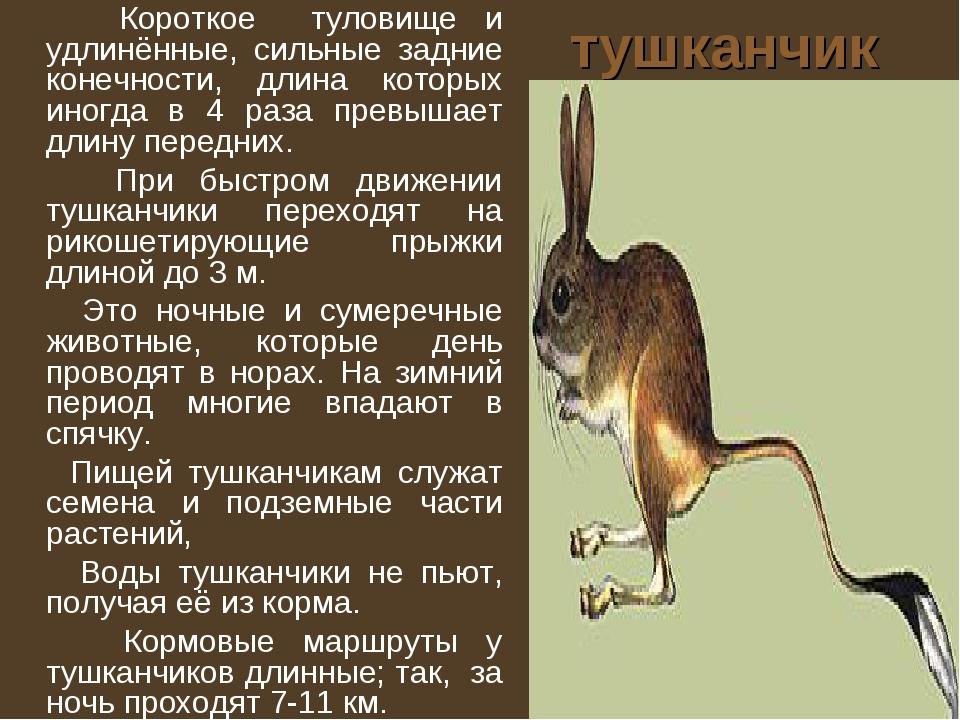 тушканчик Короткое туловище и удлинённые, сильные задние конечности, длина ко...