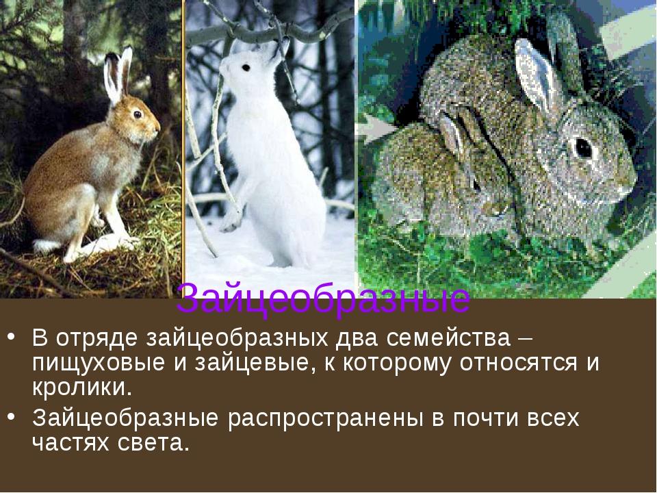 Зайцеобразные В отряде зайцеобразных два семейства – пищуховые и зайцевые, к...
