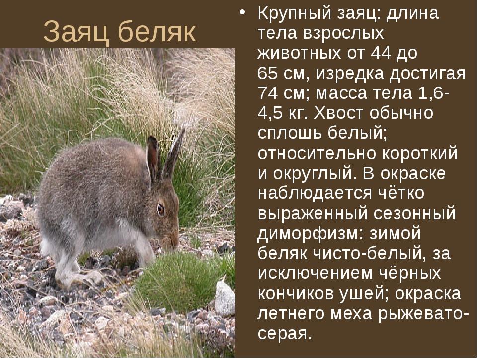 Заяц беляк Крупный заяц: длина тела взрослых животных от 44 до 65см, изредка...