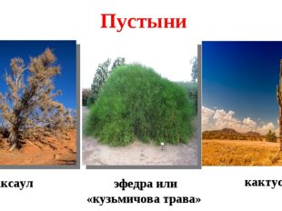 саксаул кактус эфедра или «кузьмичова трава» Пустыни