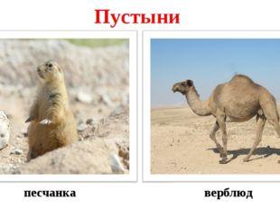 верблюд песчанка Пустыни