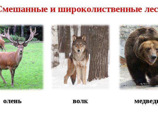 олень волк медведь Смешанные и широколиственные леса