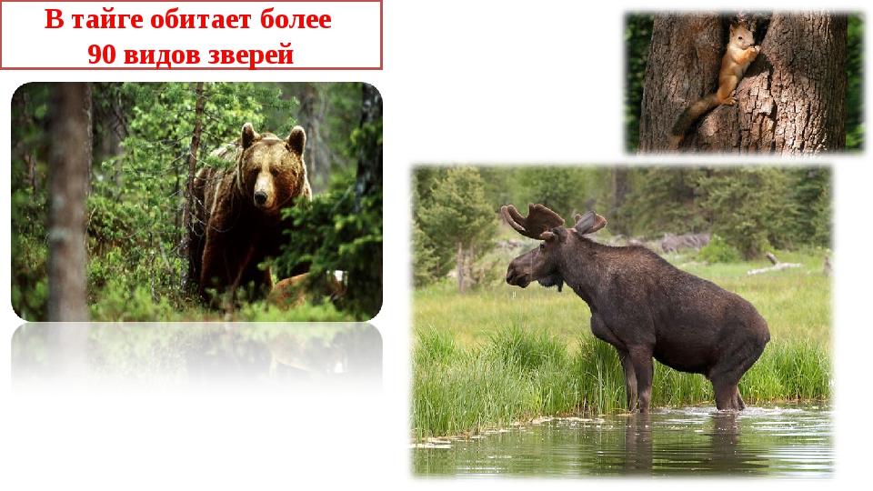 В тайге обитает более 90 видов зверей