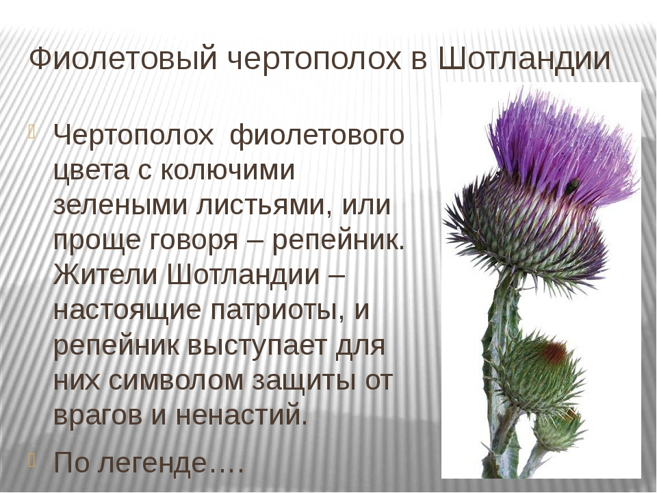 Фиолетовый чертополох в Шотландии Чертополох фиолетового цвета с колючими зе...
