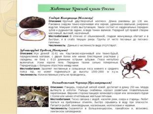 Животные Красной книги России Гладкая Жемчужница (Моллюски) Описание:Крупный