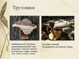 * Трутовики Окаймленный трутовик - дереворазрушающий гриб. Вызывает гниение с