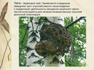 * Чага – берёзовый гриб. Применяется в медицине Замедляют рост опухолей разно