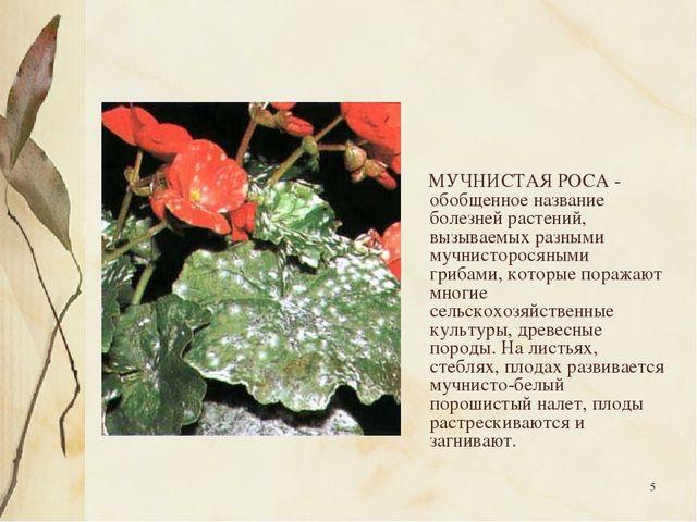 * МУЧНИСТАЯ РОСА - обобщенное название болезней растений, вызываемых разными...