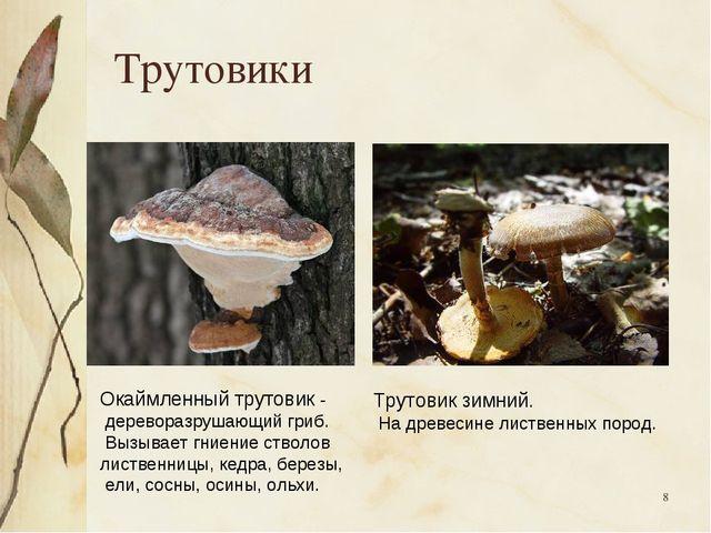* Трутовики Окаймленный трутовик - дереворазрушающий гриб. Вызывает гниение с...