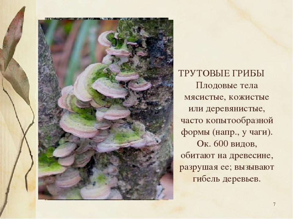 * ТРУТОВЫЕ ГРИБЫ Плодовые тела мясистые, кожистые или деревянистые, часто коп...