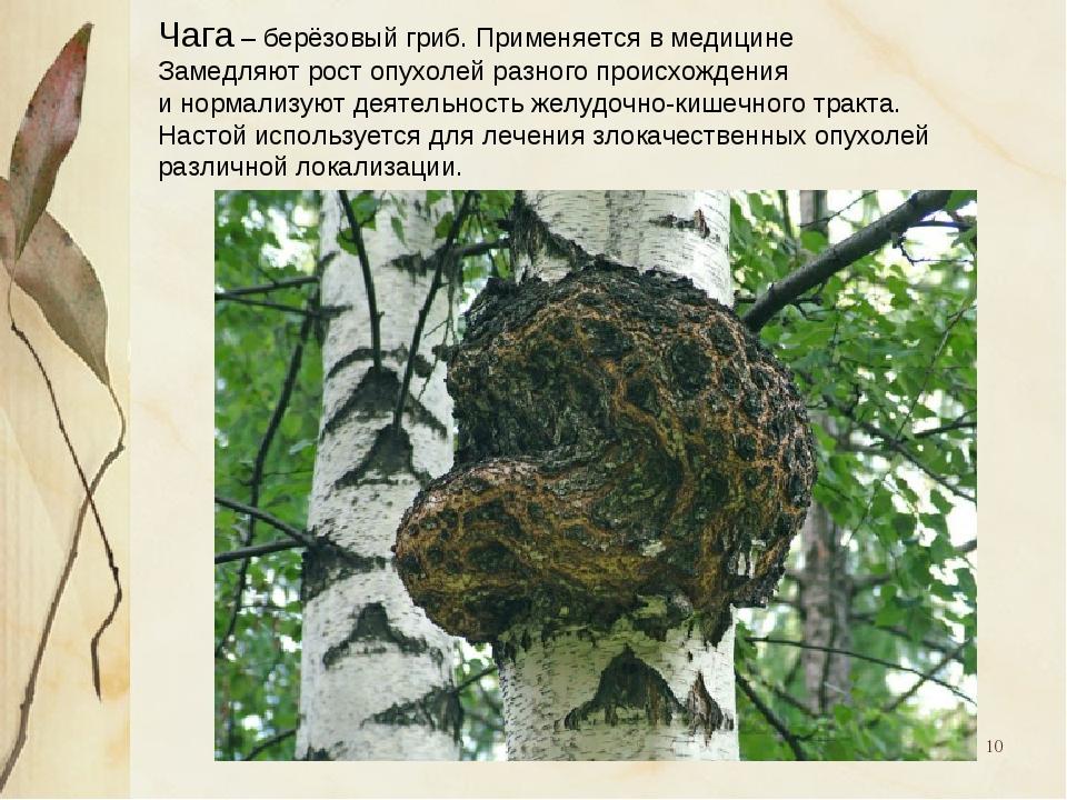 * Чага – берёзовый гриб. Применяется в медицине Замедляют рост опухолей разно...