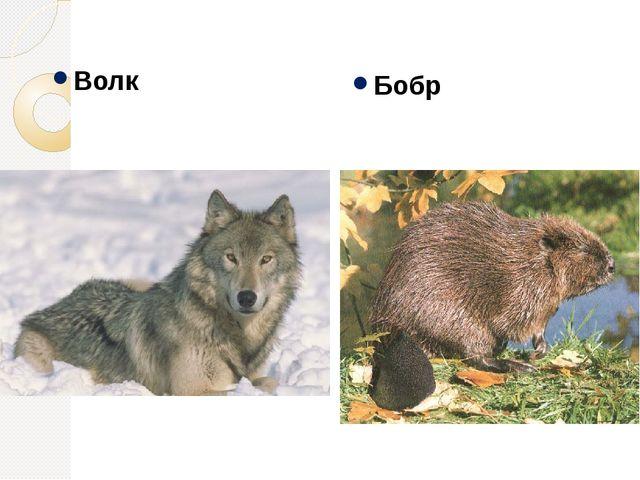Волк Бобр