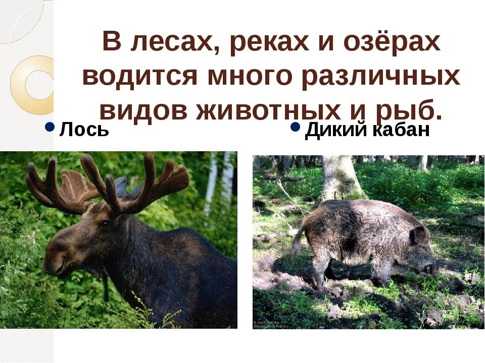 В лесах, реках и озёрах водится много различных видов животных и рыб. Лось Ди...