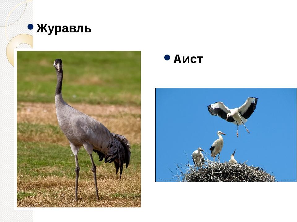 Журавль Аист