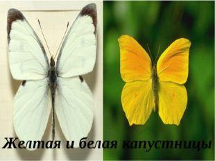 Желтая и белая капустницы