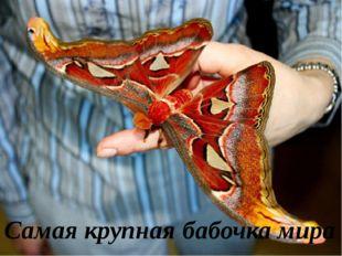 Самая крупная бабочка мира