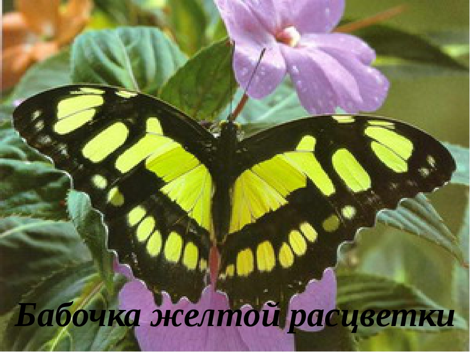 Бабочка желтой расцветки