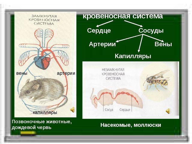 кровеносная система Позвоночные животные, дождевой червь Насекомые, моллюски...