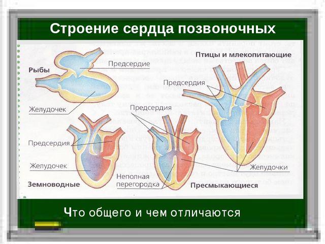 Строение сердца позвоночных Что общего и чем отличаются
