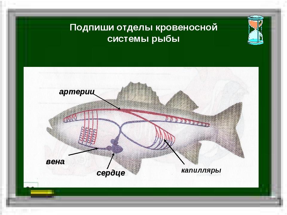 Подпиши отделы кровеносной системы рыбы сердце вена артерии капилляры