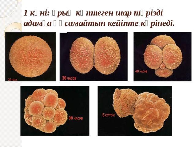 1 күні: ұрық көптеген шар тәрізді адамға ұқсамайтын кейіпте көрінеді.