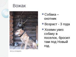 Вожак Собака – охотник Возраст - 3 года Хозяин увез собаку в поселок, бросил