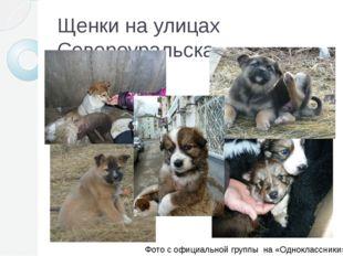 Щенки на улицах Североуральска Фото с официальной группы на «Одноклассники»