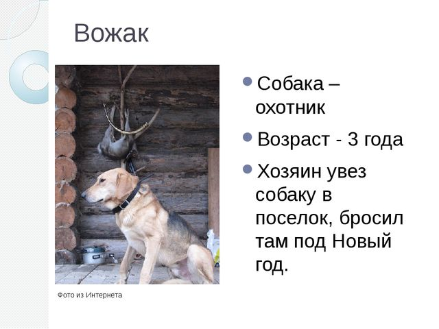 Вожак Собака – охотник Возраст - 3 года Хозяин увез собаку в поселок, бросил...