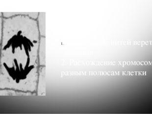 Анафаза Процессы : Сокращение нитей веретена деления 2. Расхождение хромосом