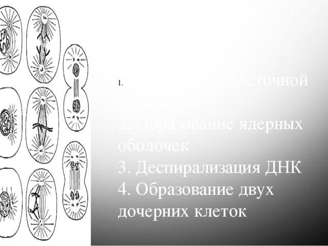 Телофаза Процессы: Образование клеточной перетяжки 2. Образование ядерных обо...