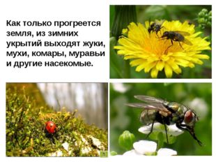 Как только прогреется земля, из зимних укрытий выходят жуки, мухи, комары, му