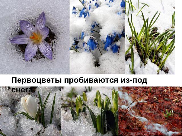 Первоцветы пробиваются из-под снега.