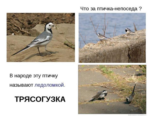 Что за птичка-непоседа ? В народе эту птичку называют ледоломкой. ТРЯСОГУЗКА