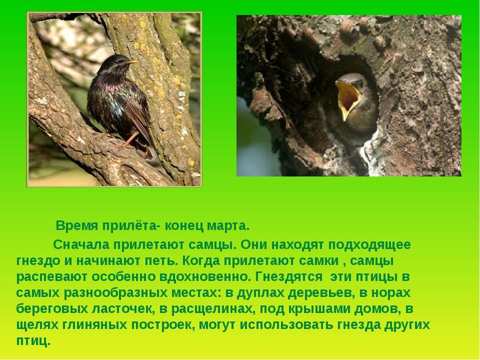 Сначала прилетают самцы. Они находят подходящее гнездо и начинают петь. Когд...
