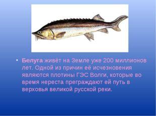Белуга живёт на Земле уже 200 миллионов лет. Одной из причин её исчезновения