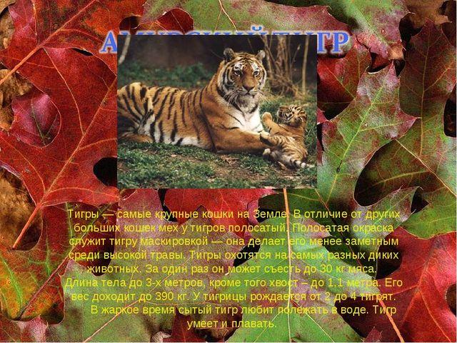 Тигры — самые крупные кошки на Земле. В отличие от других больших кошек мех у...