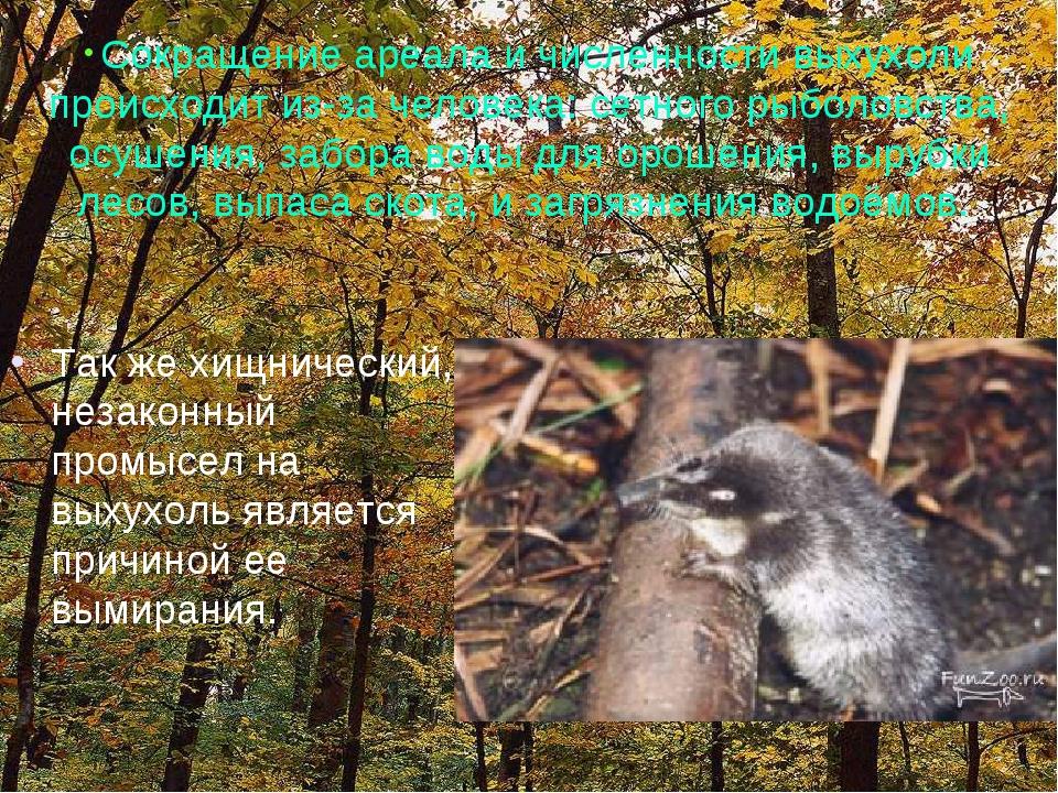 Так же хищнический, незаконный промысел на выхухоль является причиной ее выми...