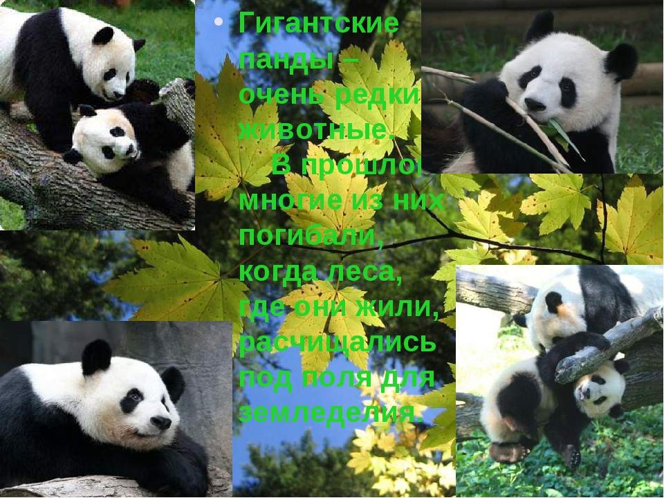 Гигантские панды – очень редкие животные. В прошлом многие из них погибали, к...