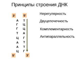 Принципы строения ДНК А Г Г Т Ц А А Ц Нерегулярность Двуцепочечность Ц Ц Комп