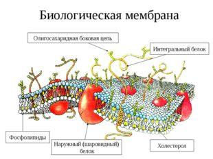 Биологическая мембрана Олигосахаридная боковая цепь Интегральный белок Фосфол