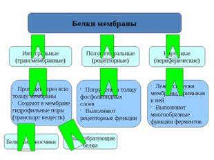 Белки мембраны Интегральные (трансмембранные) Наружные (периферические) Полуи