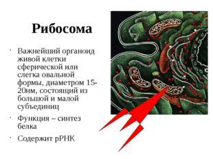 Рибосома Важнейший органоид живой клетки сферической или слегка овальной форм