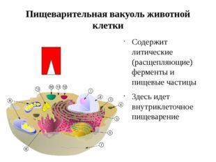 Пищеварительная вакуоль животной клетки Содержит литические (расщепляющие) фе