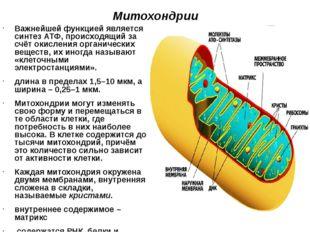 Митохондрии Важнейшей функцией является синтез АТФ, происходящий за счёт окис
