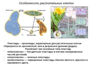 Пластиды – органоиды, характерные для растительных клеток. Образуются из проп