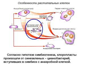 Согласно гипотезе симбиогенеза, хлоропласты произошли от синезеленых – цианоб