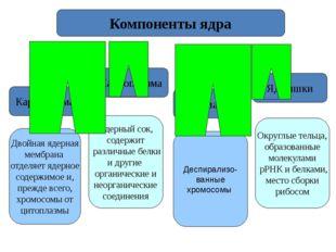 Кариолемма Кариоплазма Хроматин Ядрышки Компоненты ядра Двойная ядерная мембр