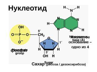 Нуклеотид фосфат Сахар (рибоза / дезоксирибоза) Азотистое основание – одно из