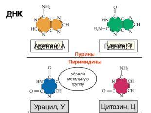Тимин, Т Цитозин, Ц Аденин, А Гуанин, Г ДНК РНК Урацил, У Убрали метильную гр